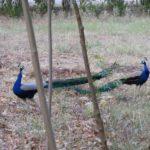 peacocks-in-farm